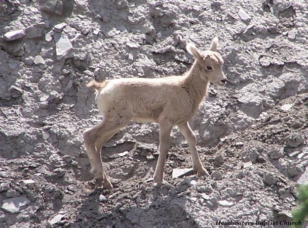 Big Horn Sheep Lamb