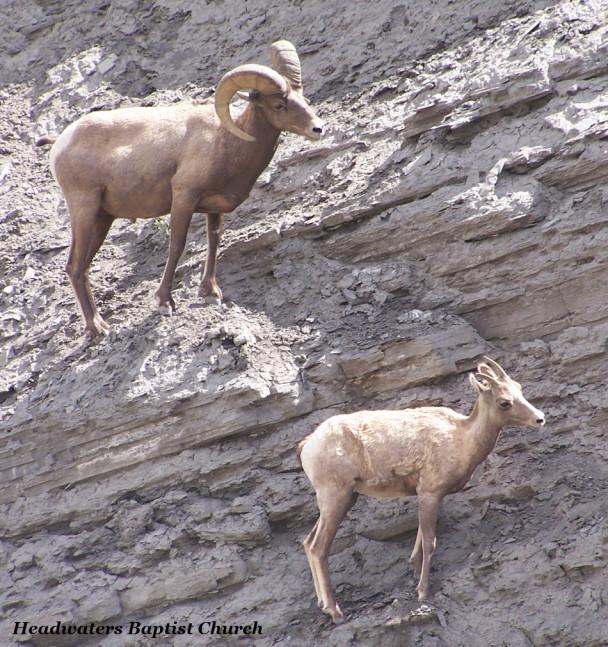 Big Horn Sheep Ram, Montana